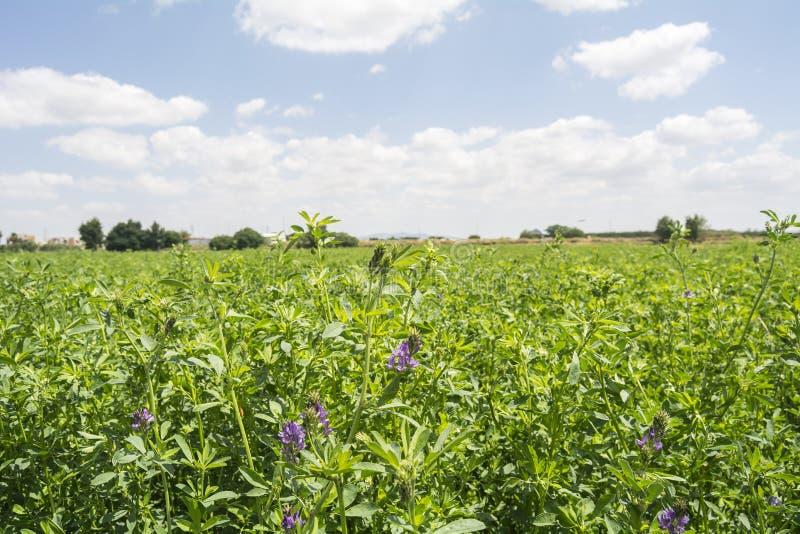 Medicago sativa in bloom (Alfalfa).  royalty free stock images