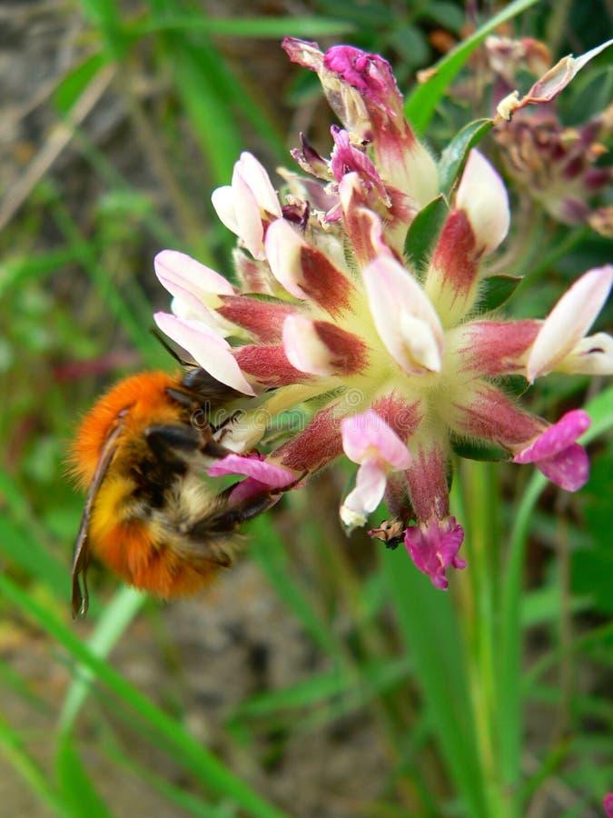 Medicago sativa L. met insect royalty-vrije stock fotografie