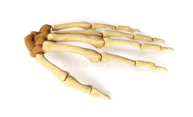 Medical accurate 3d illustration of the hand bones.  stock illustration