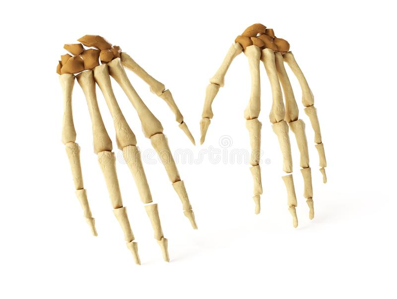 Medical accurate 3d illustration of the hand bones.  royalty free illustration