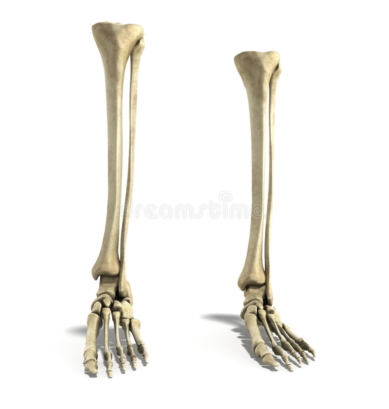 Medical accurate 3d rendering illustration of the foot bones. Medical accurate 3d rendering illustration of the foot stock illustration