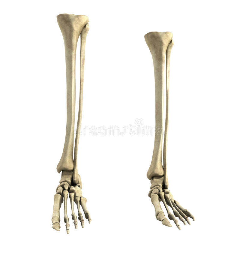 Medical accurate 3d rendering illustration of the foot bones. Medical accurate 3d rendering illustration of the foot royalty free illustration