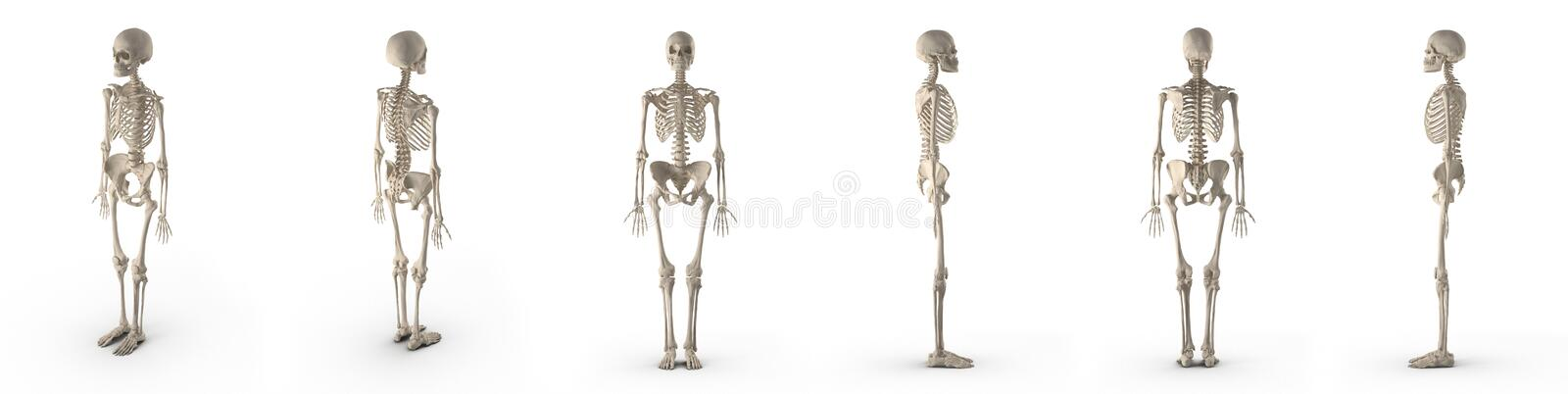 Medical accurate female skeleton renders set from different angles on a white. 3D illustration. Medical accurate female skeleton renders set from different stock illustration