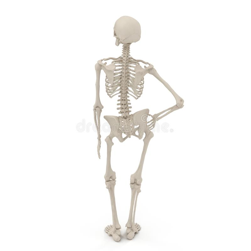 Medical accurate female skeleton standing pose on white. 3D illustration. Medical accurate female skeleton standing pose on white background. 3D illustration stock illustration