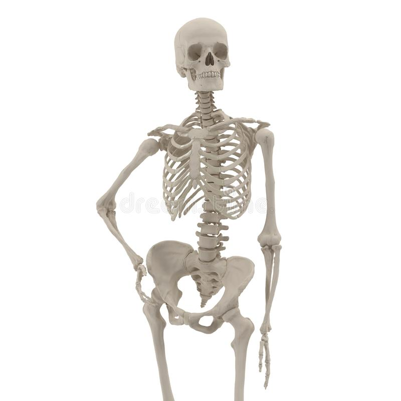 Medical accurate female skeleton standing pose on white. Front view. 3D illustration. Medical accurate female skeleton standing pose on white background. Front stock illustration