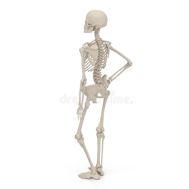 Medical accurate female skeleton standing pose on white. 3D illustration. Medical accurate female skeleton standing pose on white background. 3D illustration royalty free illustration