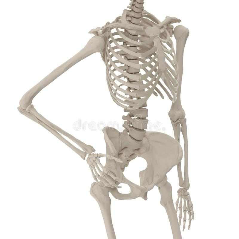 Medical accurate female skeleton standing pose on white. 3D illustration. Medical accurate female skeleton standing pose on white background. 3D illustration vector illustration