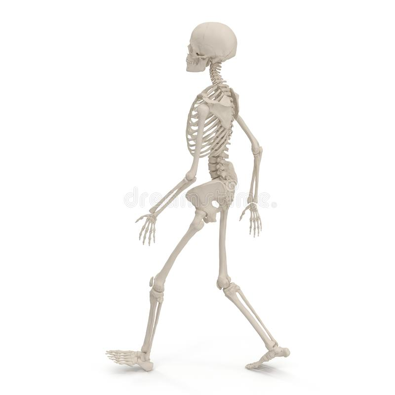 Medical accurate female skeleton walking pose on white. 3D illustration. Medical accurate female skeleton walking pose on white background. 3D illustration stock illustration