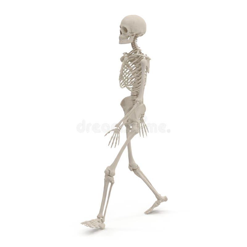 Medical accurate female skeleton walking pose on white. 3D illustration. Medical accurate female skeleton walking pose on white background. 3D illustration vector illustration