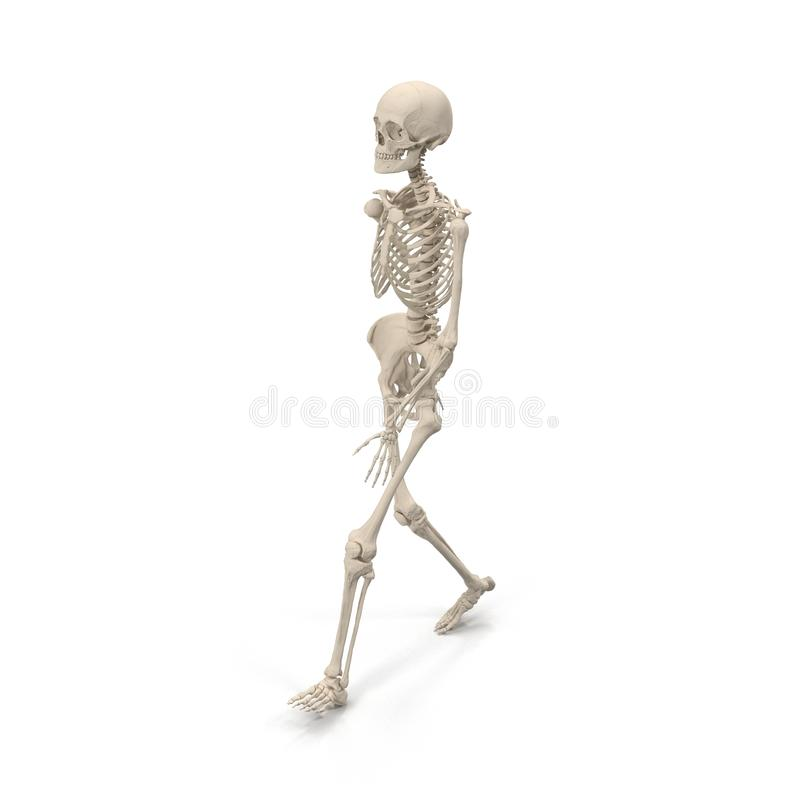 Medical accurate female skeleton walking pose on white. 3D illustration stock illustration