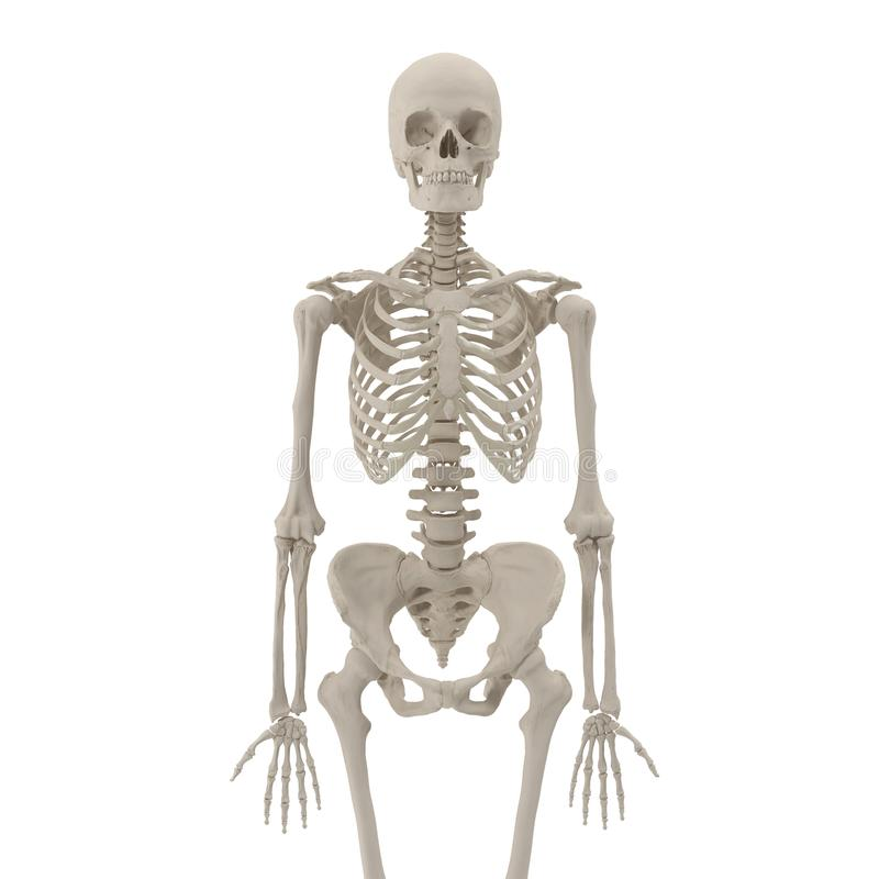 Medical accurate female skeleton on white. 3D illustration. Medical accurate female skeleton on white background. 3D illustration stock illustration