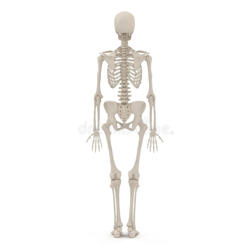 Medical accurate female skeleton on white. 3D illustration. Medical accurate female skeleton on white background. 3D illustration vector illustration