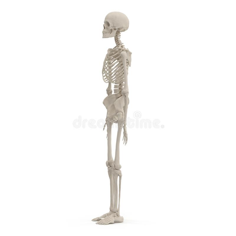 Medical accurate female skeleton on white. 3D illustration. Medical accurate female skeleton on white background. 3D illustration royalty free illustration