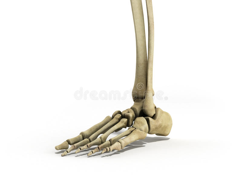 Medical accurate illustration of the foot ligaments 3d render on. White stock illustration