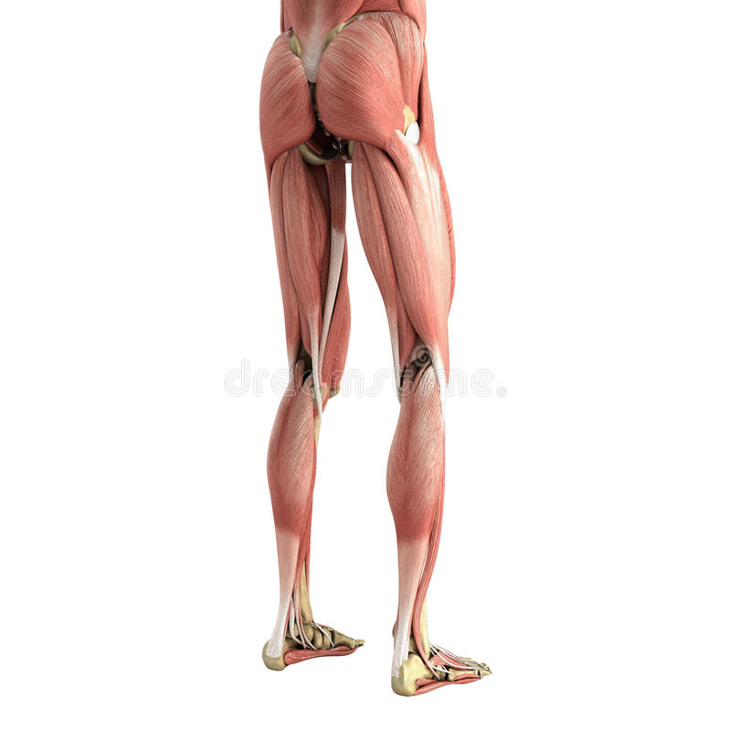 Medical accurate illustration of the leg muscles 3d render on wh. Ite no shadow royalty free illustration