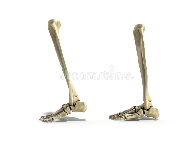 Medical accurate illustration of the lower leg bones 3d render. Medical accurate illustration of the lower leg bones 3d vector illustration