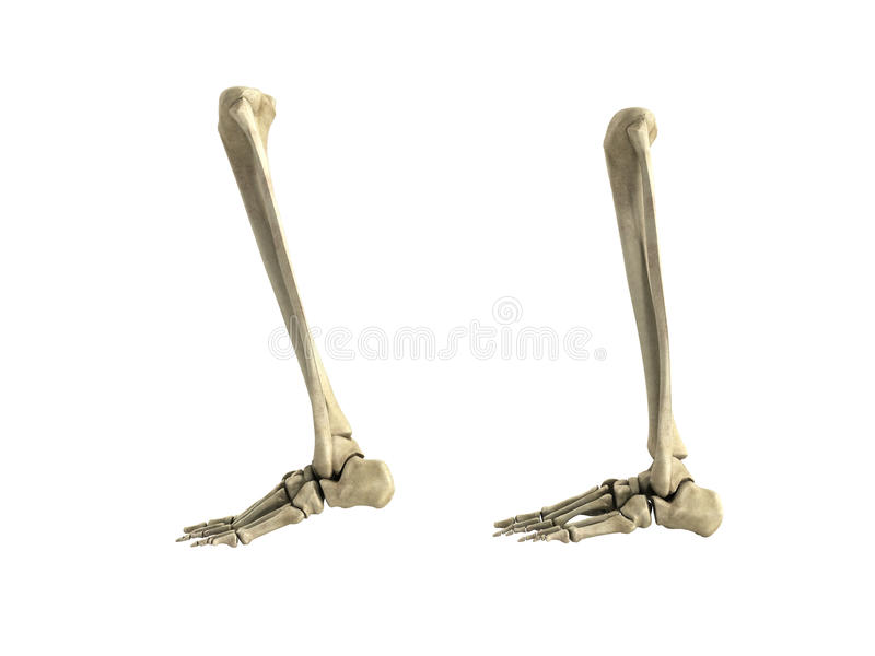 Medical accurate illustration of the lower leg bones 3d render n. O stock illustration