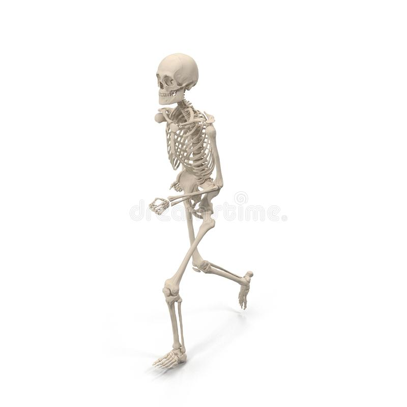 Medical accurate male skeleton standing pose on white. 3D illustration. Medical accurate male skeleton standing pose on white background. 3D illustration royalty free illustration