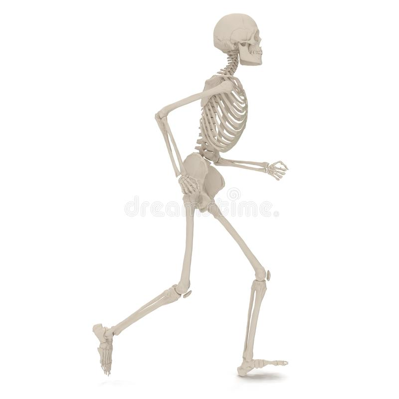 Medical accurate male skeleton standing pose on white. 3D illustration. Medical accurate male skeleton standing pose on white background. 3D illustration vector illustration
