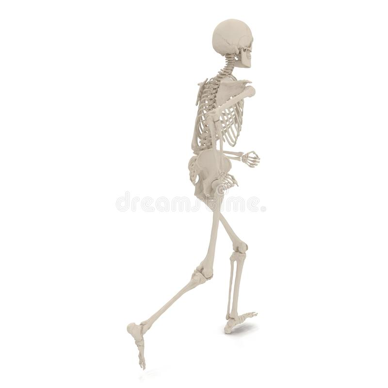 Medical accurate male skeleton standing pose on white. 3D illustration. Medical accurate male skeleton standing pose on white background. 3D illustration stock illustration