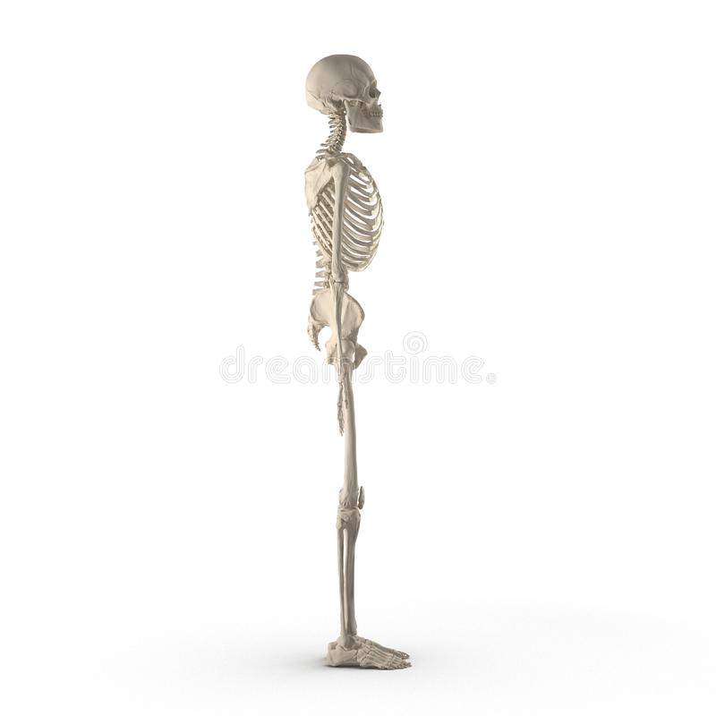 Medical accurate male skeleton standing pose on white. Side view. 3D illustration. Medical accurate male skeleton standing pose on white background. Side view vector illustration