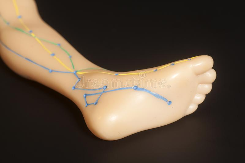 Medical Acupuncture Model Of Human Leg Stock Image - Image ...