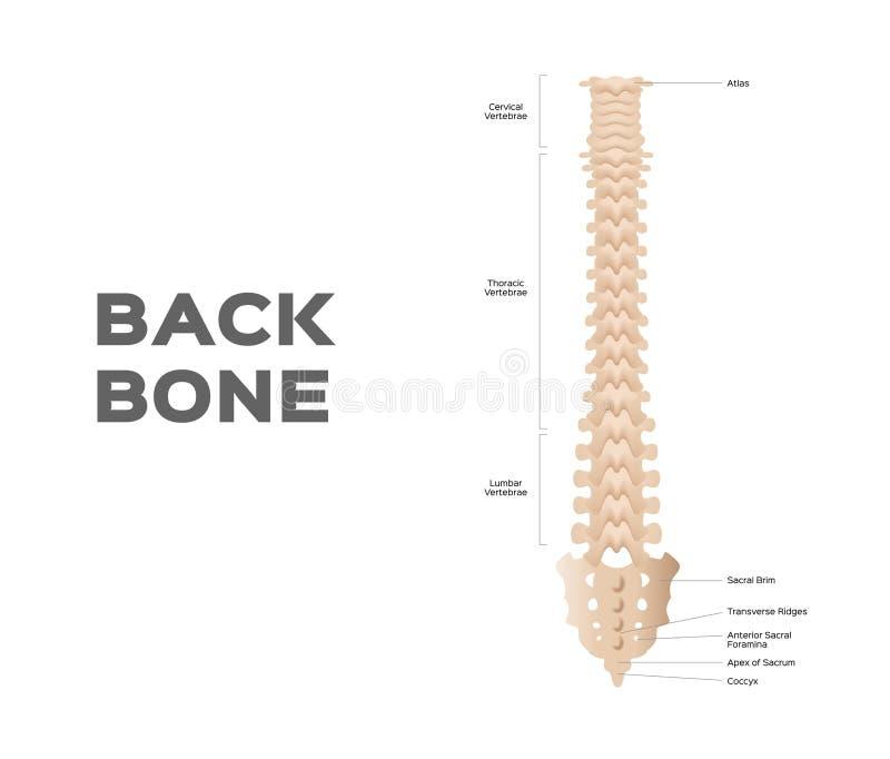 Medical anatomical / backbone / organ. On white vector illustration