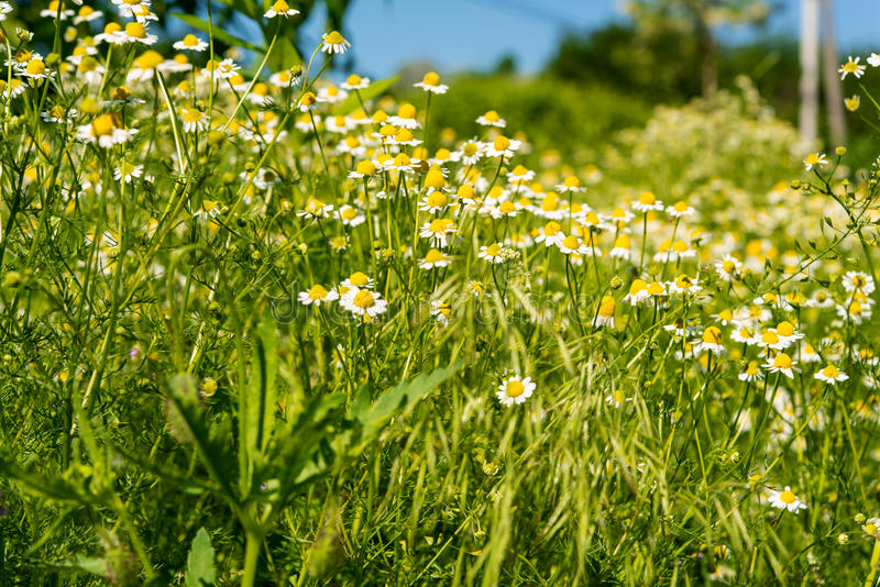 medical daisy growing stock image