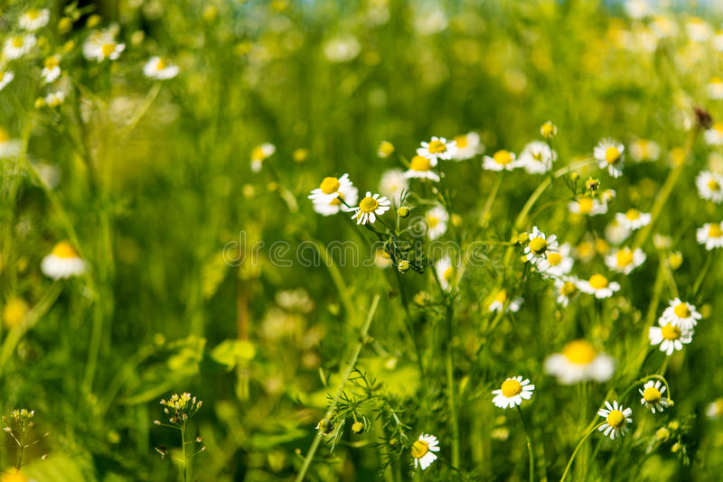 medical daisy growing royalty free stock images