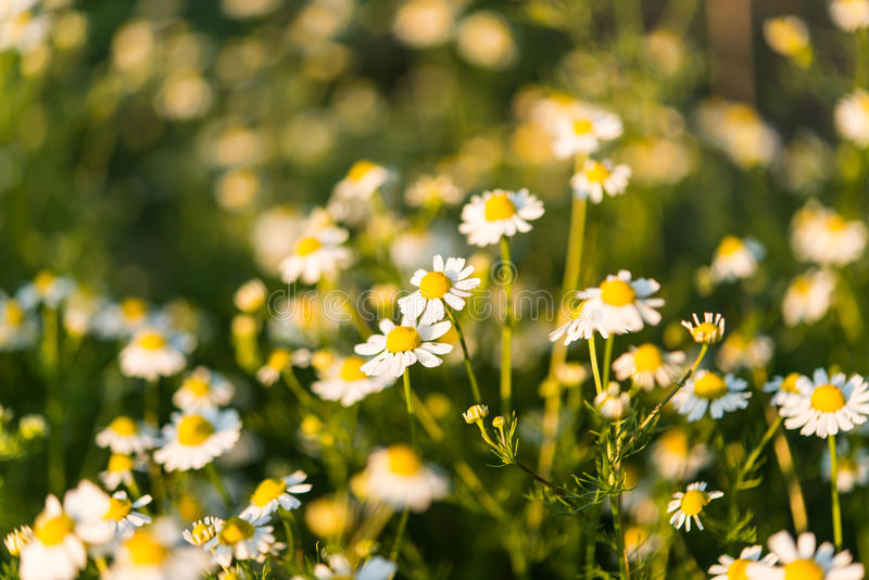 Medical daisy growing in the meadow royalty free stock image