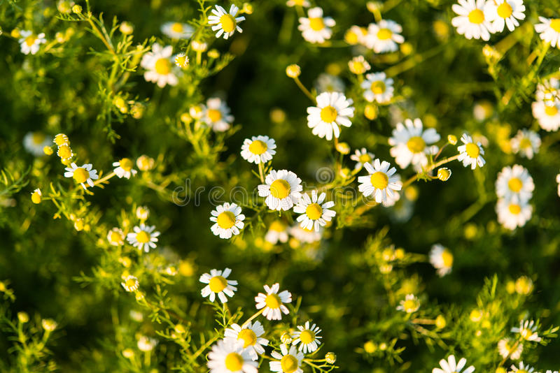 Medical daisy growing in the meadow stock photos