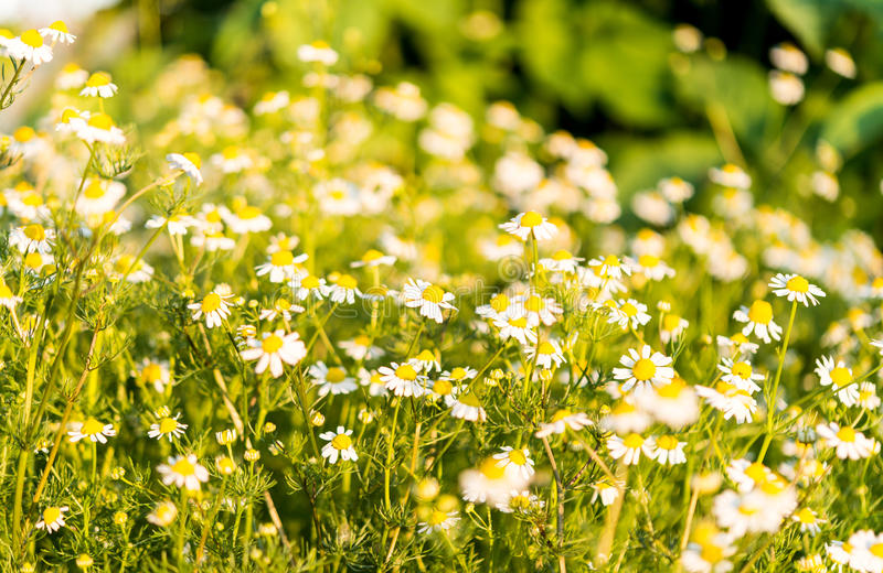 Medical daisy growing. In the meadow royalty free stock images