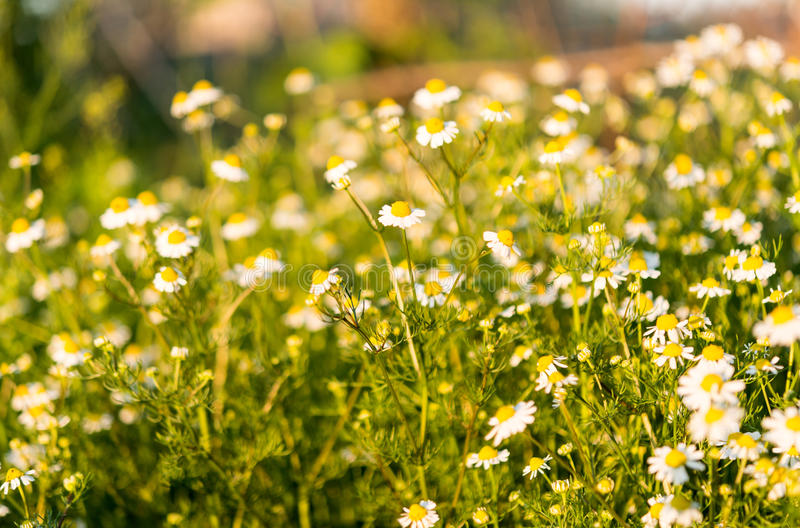 Medical daisy growing. In the meadow stock images