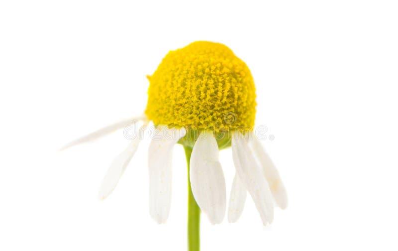 Medical daisy isolated royalty free stock photo