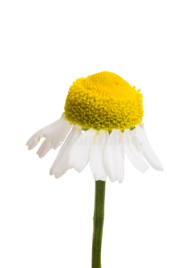medical daisy isolated royalty free stock images