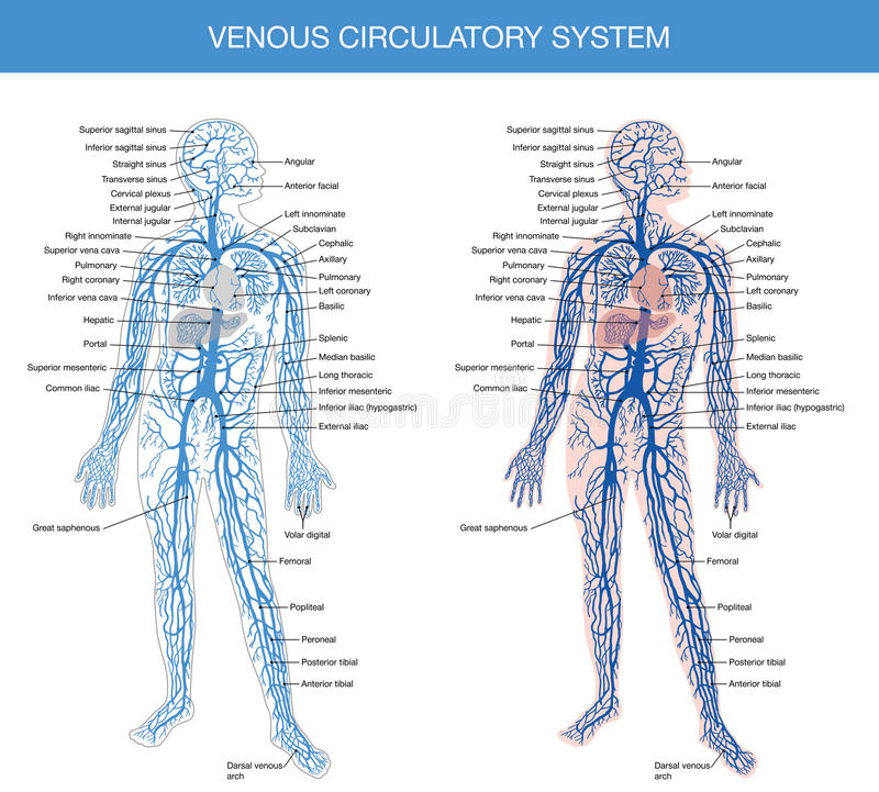 Medical Description Of The Venous System Of Blood Stock Vector