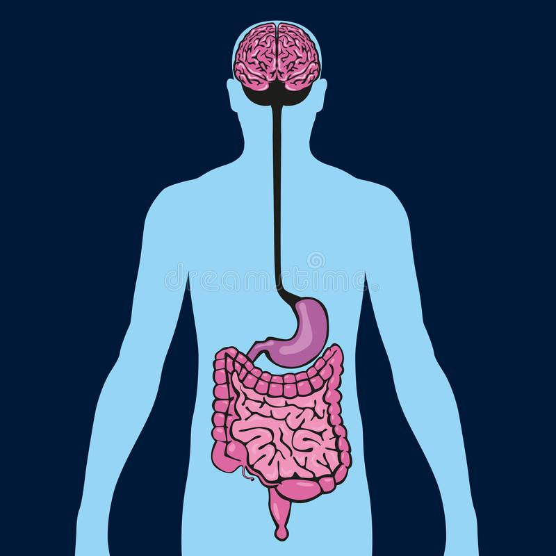 Diagram showing the connection between the intestine and the brain through the stomach. Medical diagram, presenting the relation between the two essential organs vector illustration