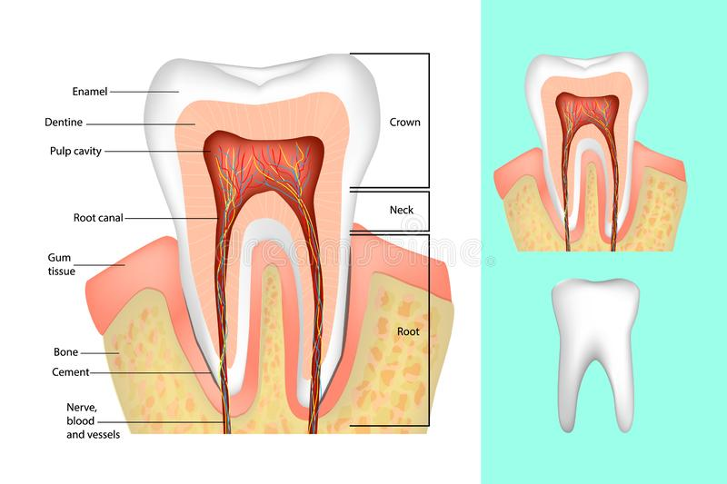Medical diagram of the structure of the inside cross-section of the tooth. Tooth structure. Medical diagram of the structure of the inside cross-section of the vector illustration