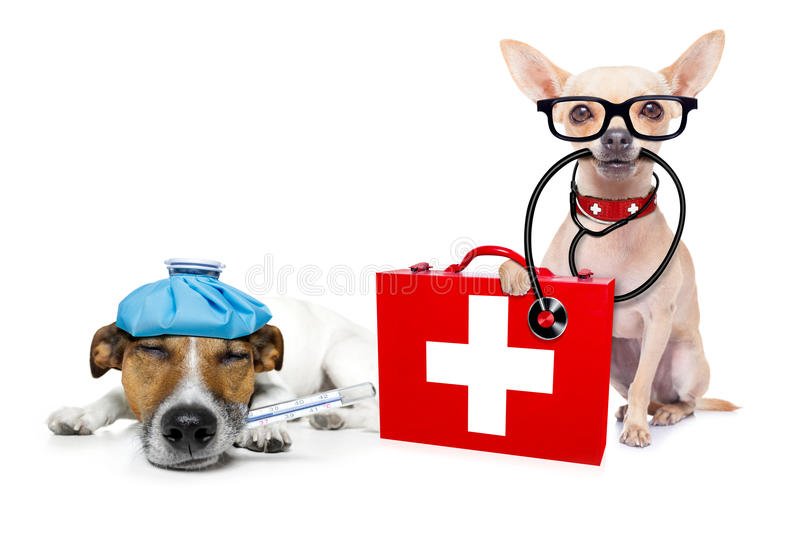 Medical doctor sick and ill dogs. Chihuahua dog as a medical veterinary doctor with stethoscope and first aid kit and a sick ill dog , on white background royalty free stock photo