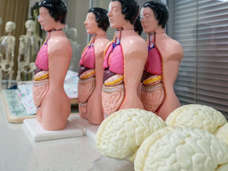 medical dummies, skeleton, skull, organs, brain, arm royalty free stock image