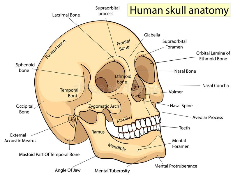 Medical Education Chart of Biology Human Skull Diagram. Vector. Front aspect white background basic medical education vector illustration