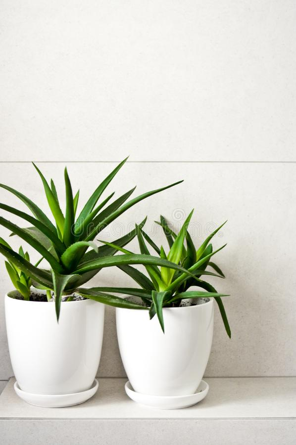 Medical herb aloe vera in pots on bathroom shelf. Green medical herb or plant called aloe vera in white pots standing on tiled bathroom shelf. Room decoration royalty free stock image
