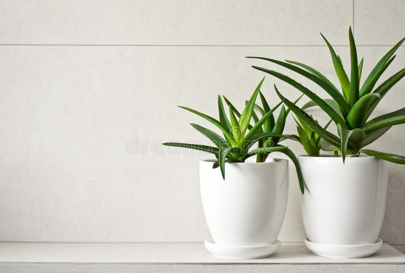 Medical herb aloe vera in pots on bathroom shelf. Green medical herb or plant called aloe vera in white pots standing on tiled bathroom shelf. Room decoration stock images