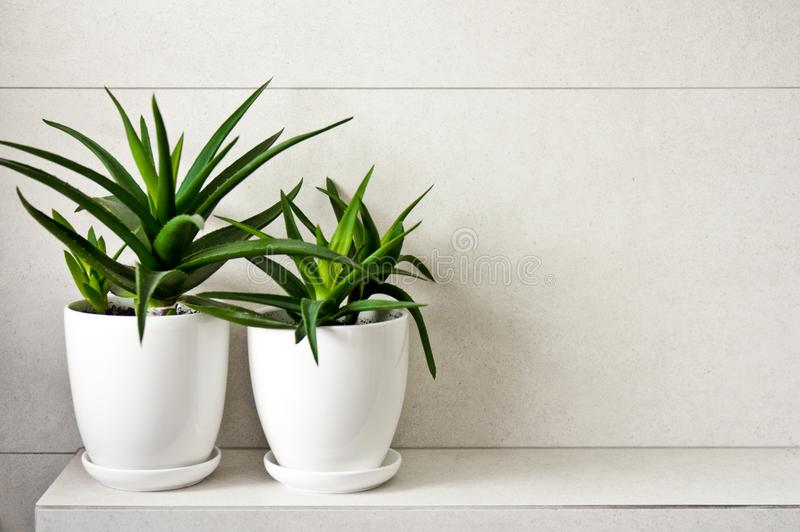 Medical herb aloe vera in pots on bathroom shelf. Green medical herb or plant called aloe vera in white pots standing on tiled bathroom shelf. Room decoration stock image