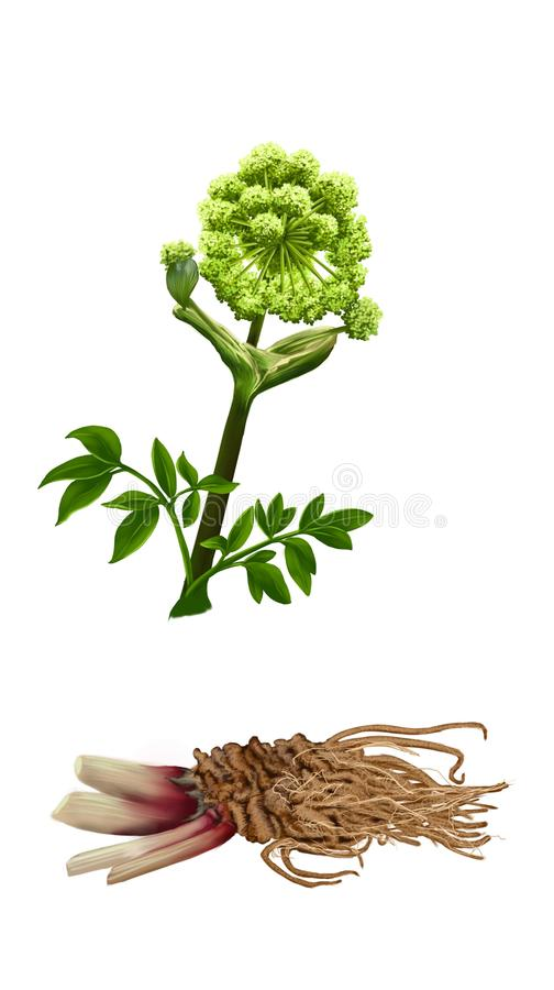 Medical herb Angelica. Angelica, medicinal herb on white background royalty free stock photo