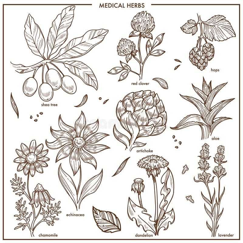 Medical herbs and herbal medicine plants vector sketch vector illustration