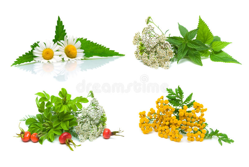Medical herbs and wild rose berries on white background stock images