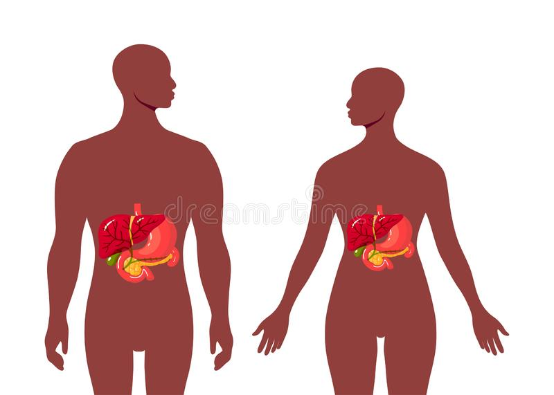 Medical illustration of the bile duct, vector. Medical illustration of the bile duct and surrounding organs inside of black female and male body. Simple vector royalty free illustration
