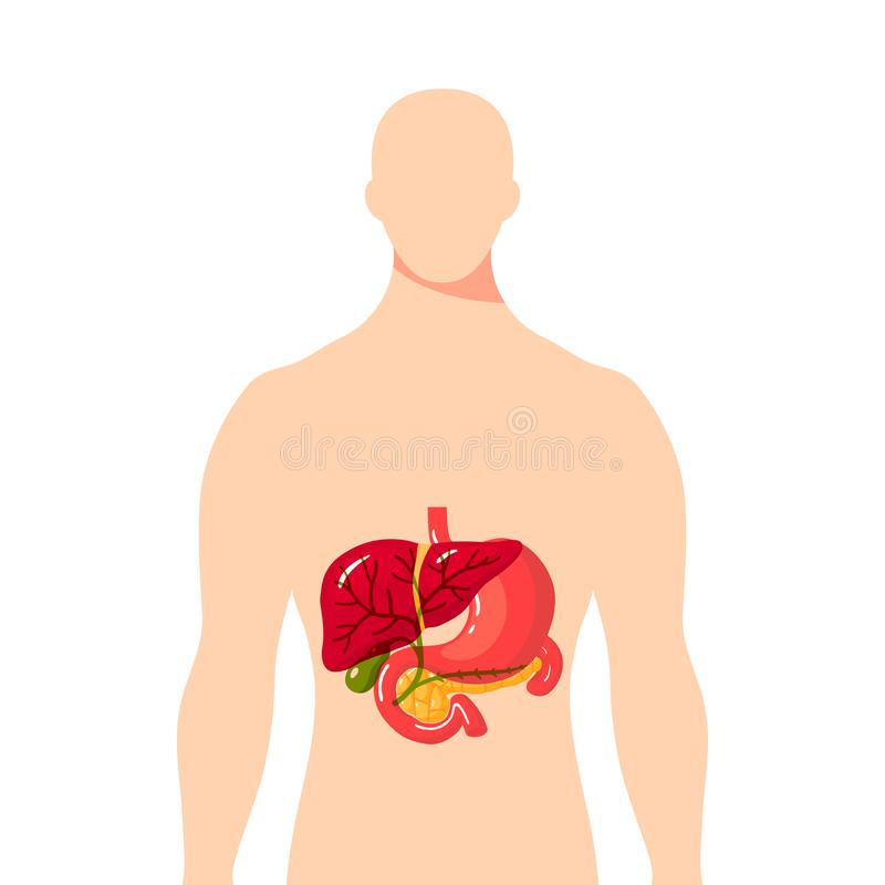 Medical illustration of the bile duct, vector. Medical illustration of the bile duct and surrounding organs inside of male body. Simple vector illustration in royalty free illustration