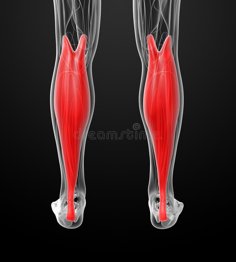 Medical illustration of the gastrocnemius. Back view stock illustration